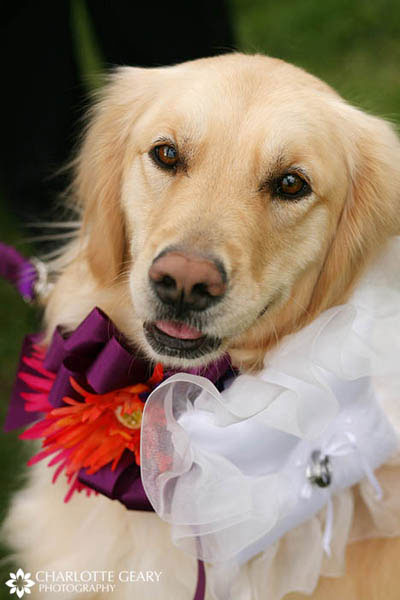 Dog ring bearer wearing ring pillow on her collar